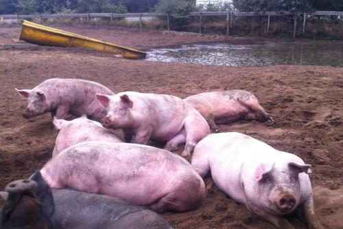 Varkens bij de modderpoel